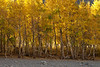 Some people think you have to go to the Rockies or the East to get fall color. Here in California the Eastern Sierra Nevada range supplies colorful aspens, great fall temperatures, good fishing, great motorcycle roads and any other number of reasons to call in sick.