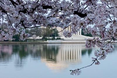 The classic cherry blossom photo at peak.
