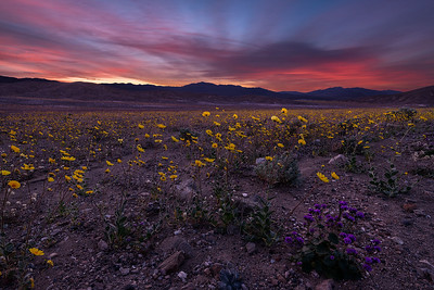 death valley flowers-2653_54