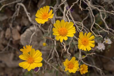 death valleyflowers-2751