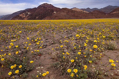 death valley flowers-2555