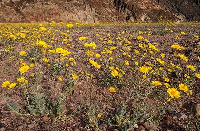 death valley flowers-2544