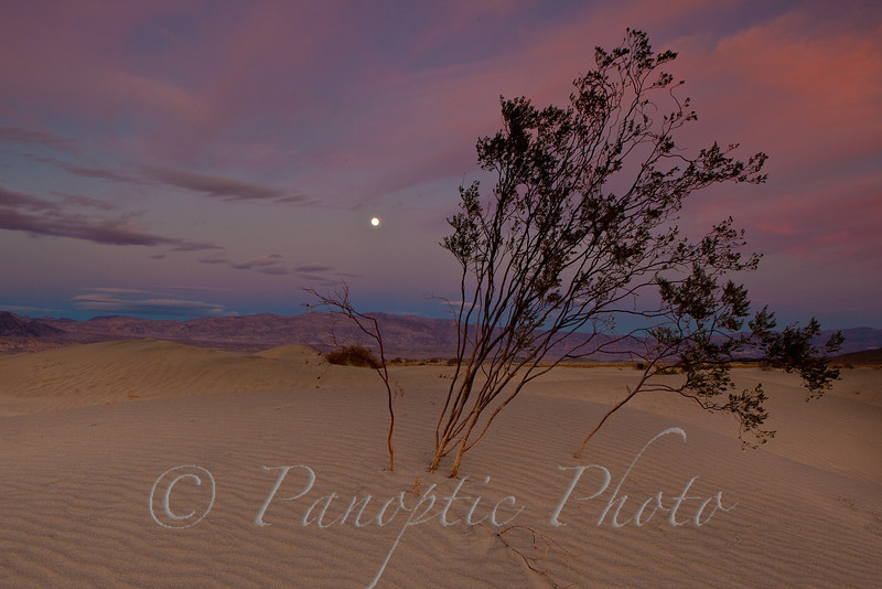 Full Moon, Leaning Tree, Sand Dunes, Death Valley National Park, California