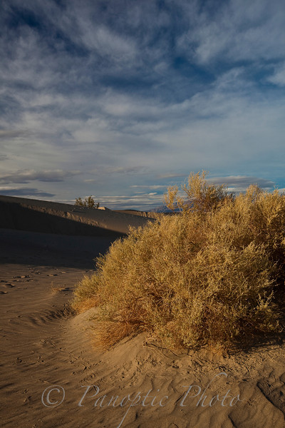 Bush growing in Sand Dunes, Death Valley National Park