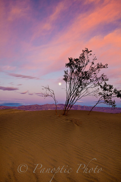 Fragile Tree in Sand Dunes, Death Valley National Park