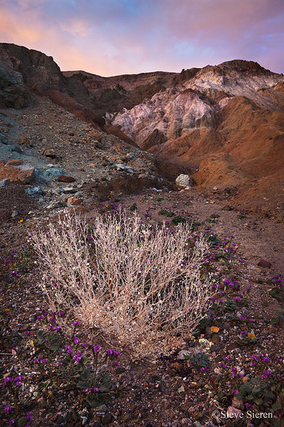 Desert Holly - Death Valley