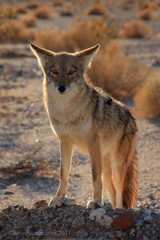 Coyote in afternoon light Death Valley