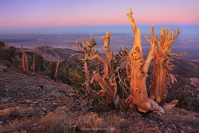Bristlecone Pines on the slopes of Telescope Peak in Death Valley. The Panamint Valley, Argus Mountains and  Sierra Nevada Range are in the background.
