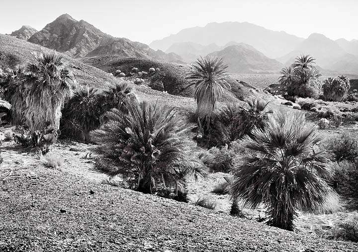 A mixture of date and native california fan palms.