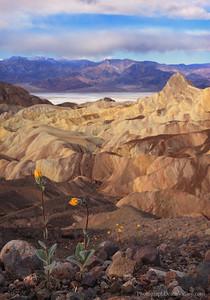 Wildflowers Zabriskie Point Death Valley