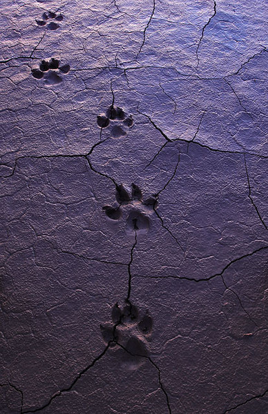 Desert tracks from a coyote in Death Valley