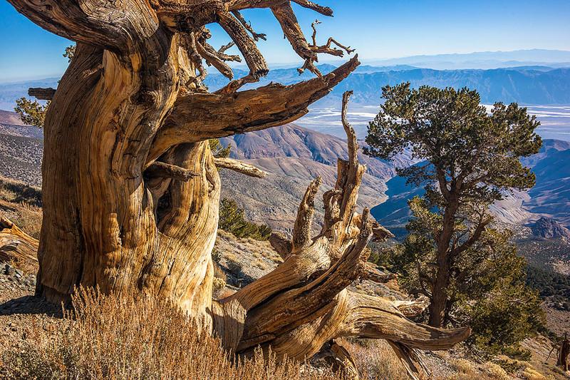 Bristlecone Pine Death Valley Salt Flat View