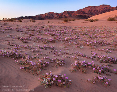 Death Valley wild flower dunes