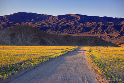 Sping wildflowers covering a dirt road in the southern part of Death Valley National Park