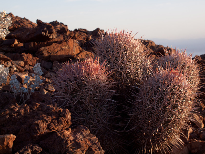 Cactus at Hells Gate, Death Valley