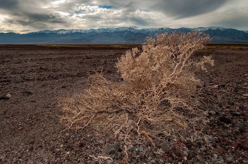 Bush, Badwater Basin, Death Valley