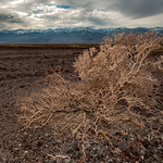Bush, Badwater Basin, Death Valley