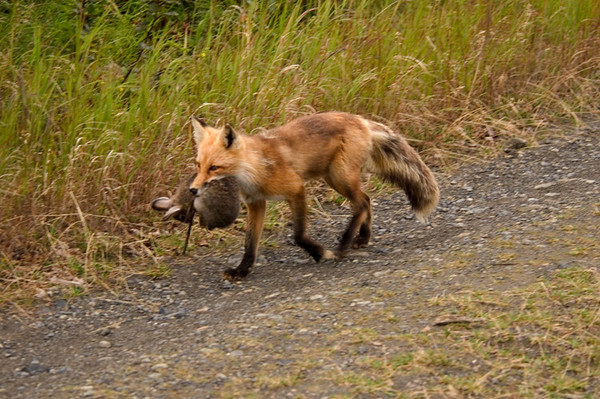 This Red Fox was trotting up the trail with its evening meal - a ritual that was repeated every day that I was there.