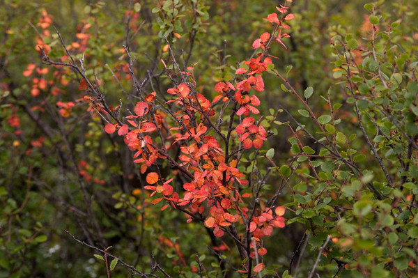 This is early August - fall colors come early in Denali National Park.