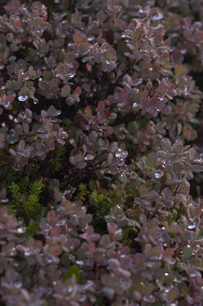 These blueberry bushes were sparkling with rain in the early morning after one of the many showers.