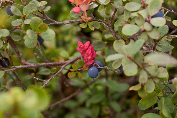 Blueberries and changing leaves.