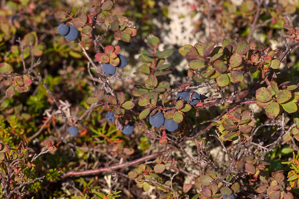 These low ground blueberries were a delicious lunch on one of my hikes
