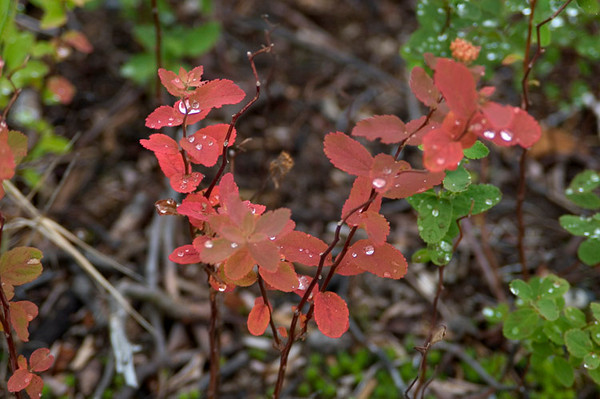 These changing leaves sparkle in the early morning just after one of the frequent rains.