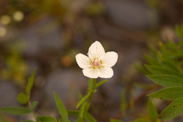 This bloom, Grass of Parnassus, was photographed along the trail to the McKinley River from Wonder Lake.