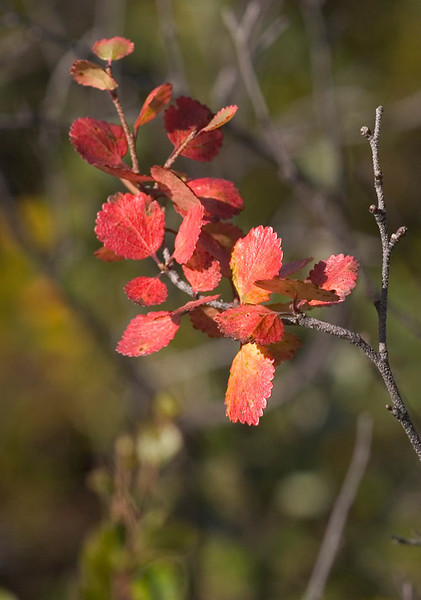 A splash of color in the morning sunlight as leaves begin changing just ahead of the approaching winter in Denali National Park.