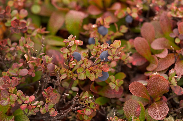 This combination of ripe blueberries, changing blueberry leaves, the bearberry plant made for a colorful scene.
