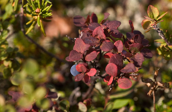 Delicious ripe blueberries and changing leaves with the approach of autumn.