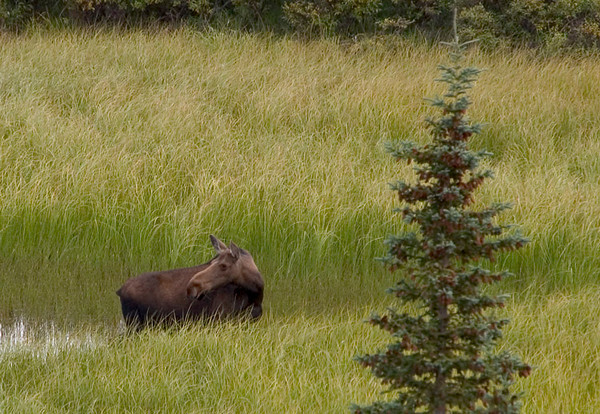 This cow moose turned to look back and check on its young calf as it fed along the banks of a small pond just to the east of Wonder Lake Campground.
