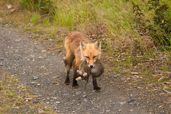 Red Fox with daily dinner of Snowshoe Hare on a trail near Wonder Lake Campground.