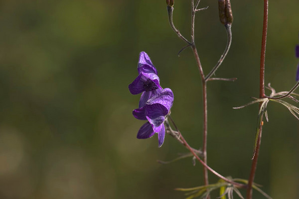 This beautiful bloom is the Monkshood, which is also quite poisonous.