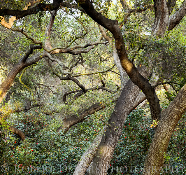 Descanso oak trees
