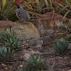 quail pair