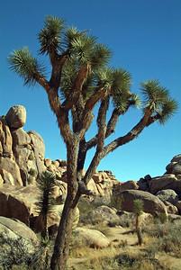 Rocks and Joshua Trees are the major photographic objects in Joshua Tree National Park.