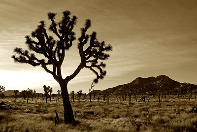 Joshua Tree in Black & White (sepia), Joshua Tree National Park, California