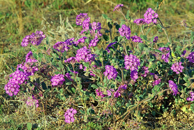 Blooming desert flowers in southern California