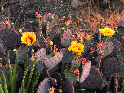 Prickly Pear Cactus blooms in late March in the Chihuahuan desert in Big Bend NP.