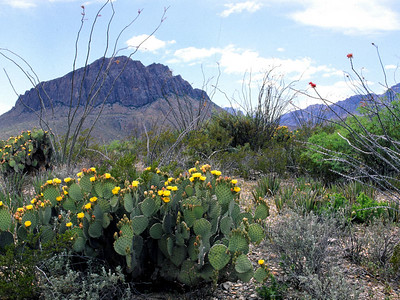 Ocotillo and cactus and sage are in the foreground with the Chisos Mountains in the background.  Big Bend National Park