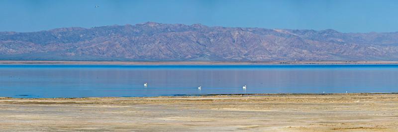 33) Salton Sea Pelicans 201003131649