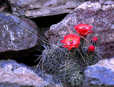 Claret Cup cactus flower blooms in late March or early April.