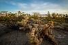 cactus skys-8505