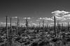 saguaro forest-0131