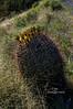 barrell cactus flower-0170