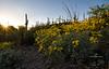 brittle bush aglow-9938