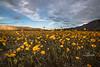 borrego super bloom 9-8582