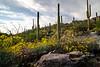 arizona wildflowers-1304