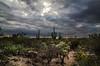 desert cactus-0647